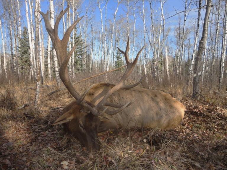 resting-elk-11