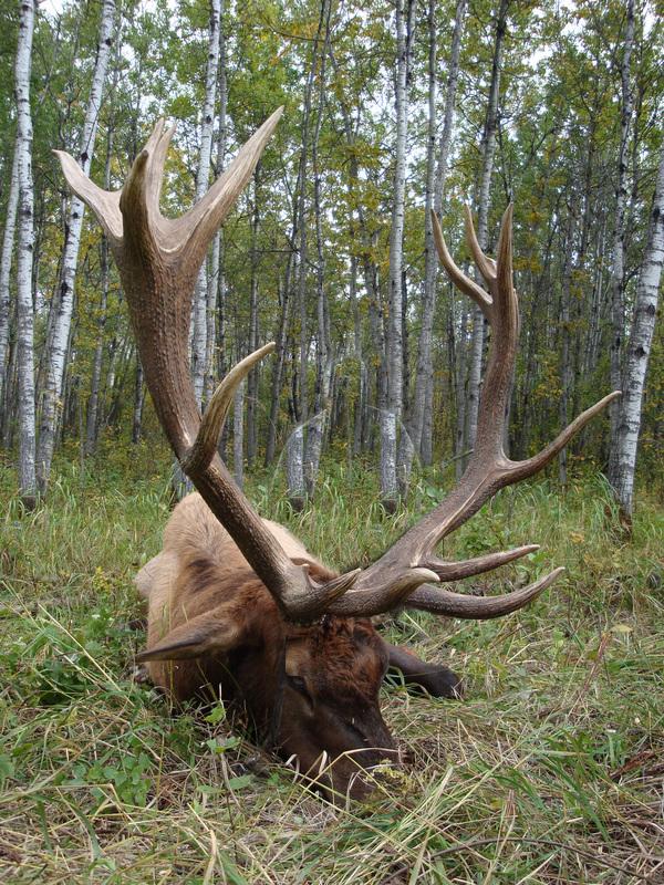 resting-elk-12