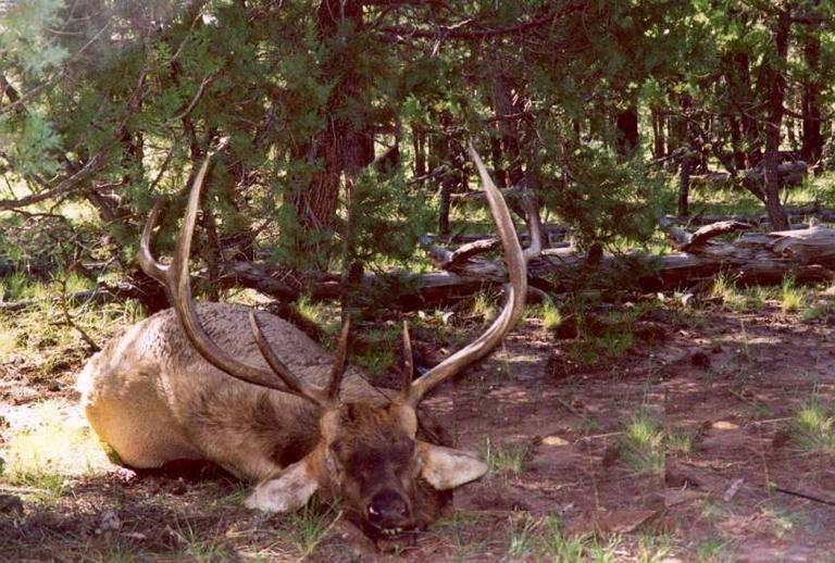 resting-elk-3-a