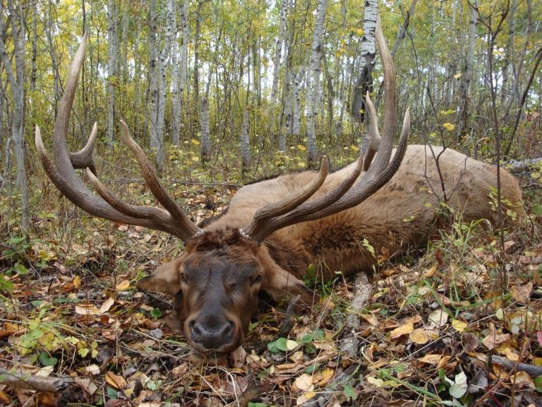 resting-elk-7